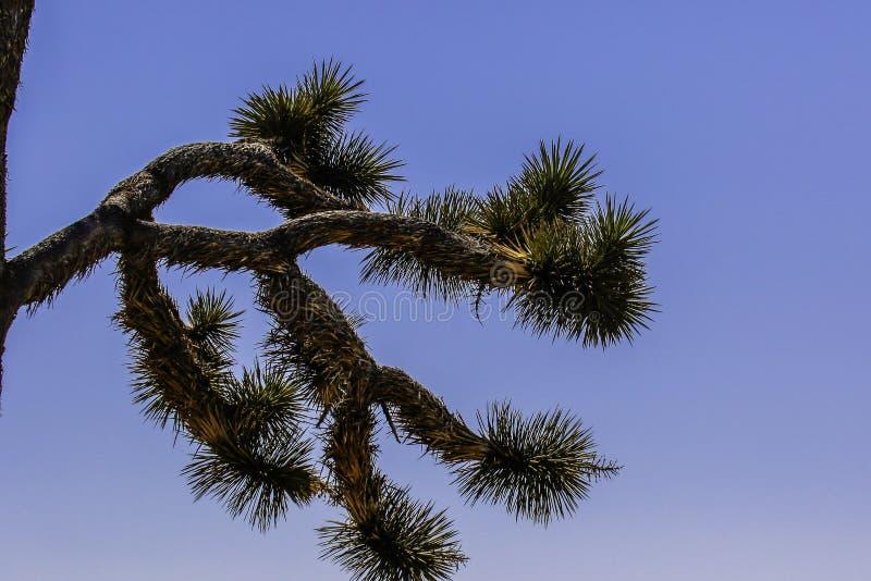 Joshua Tree Against Blue Sky bakgrund royaltyfri fotografi