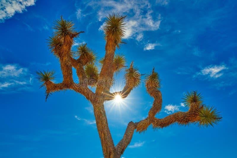 Joshua Tree Backlit vid solen fotografering för bildbyråer