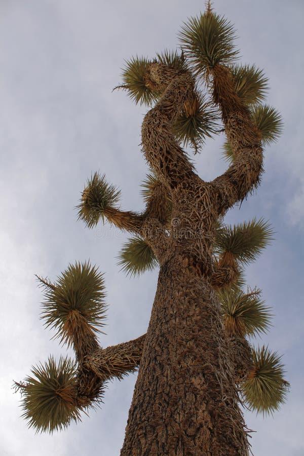 Joshua Tree bei Joshua Tree National Park oben betrachten, Kalifornien lizenzfreies stockbild