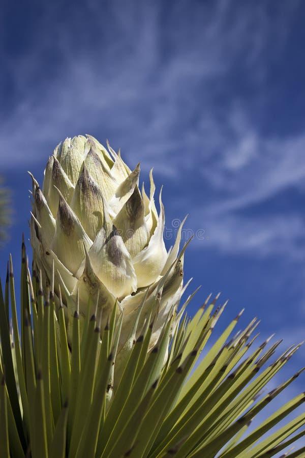 Joshua Tree Bloom immagine stock libera da diritti