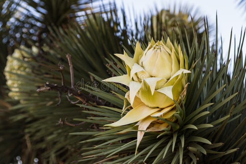 Joshua tree bloom. Close up of a Bloom on a Joshua Tree in Southern California royalty free stock photo