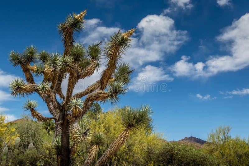 Joshua Tree Cactus arkivfoton