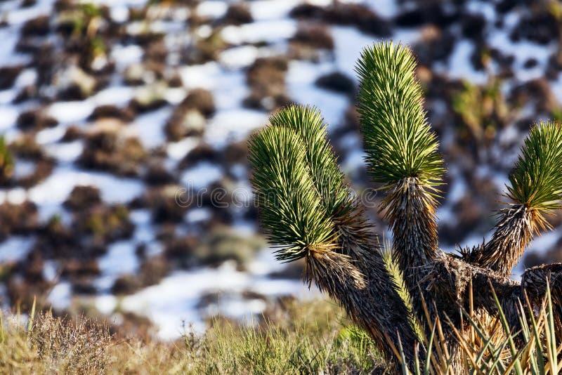 Joshua Tree com neve no deserto do Mohave imagens de stock royalty free