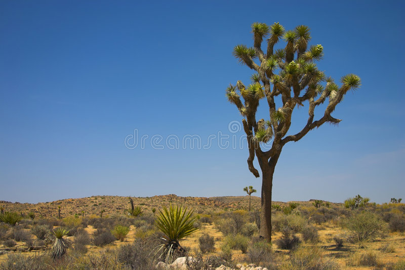 Joshua Tree In The Desert Stock Photo