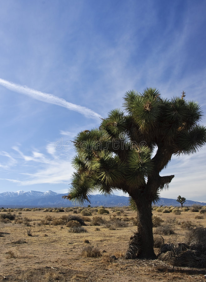Download Joshua Tree in Desert stock photo. Image of west, california - 7259394