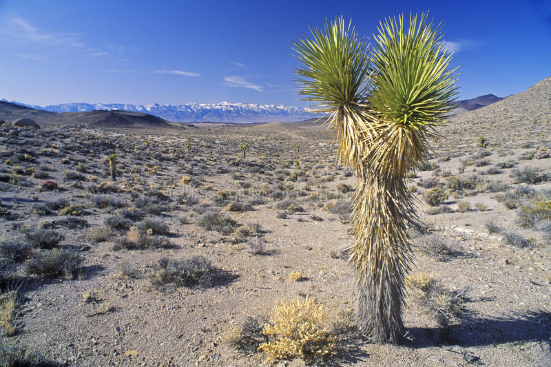 Joshua Tree Desert i blom, palmliljaväxter, vår, CA fotografering för bildbyråer
