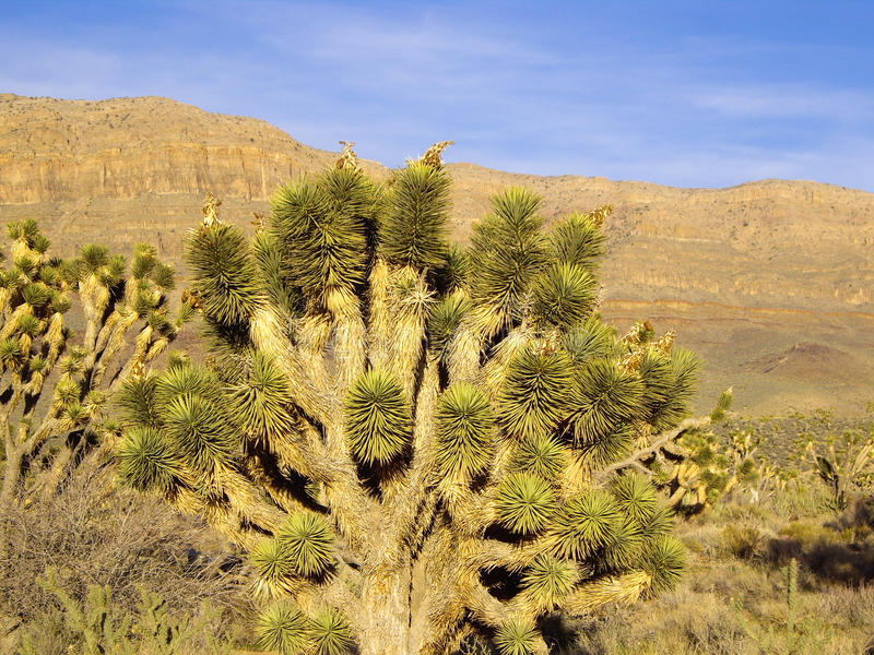 Download Joshua Tree stock photo. Image of states, trees, forest - 42148430