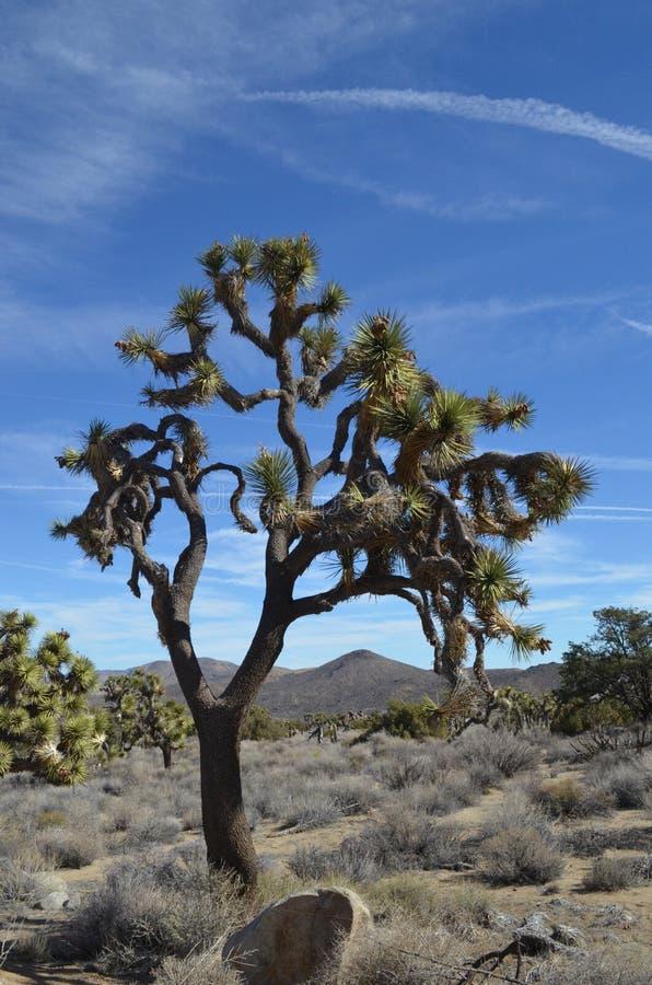 Joshua Tree em Joshua Tree National Park, CA fotografia de stock royalty free