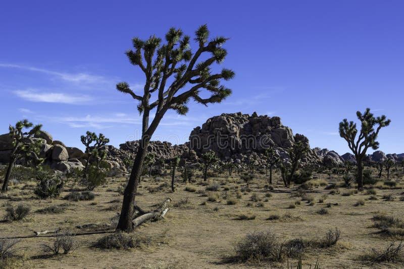 Joshua Tree en Joshua Tree National Park en el valle ocultado fotografía de archivo