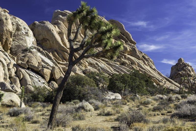 Joshua Tree en Joshua Tree National Park en el valle ocultado imagen de archivo libre de regalías