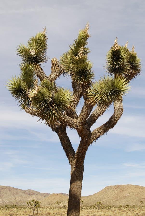Joshua Tree en paisaje del desierto fotografía de archivo