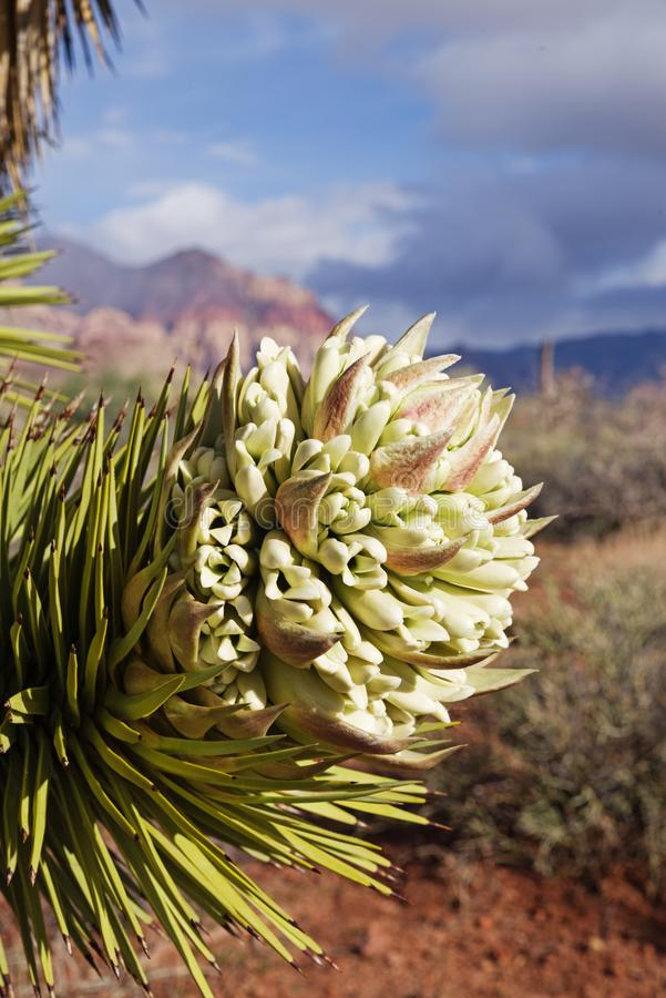 Joshua Tree Flower images stock