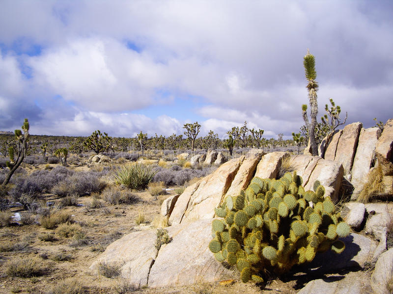 Joshua Tree Forest royaltyfri bild