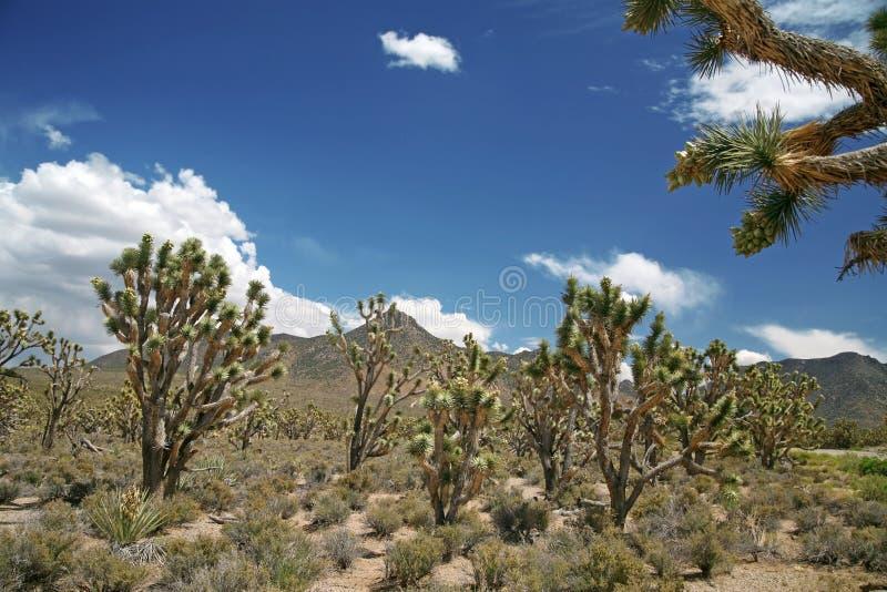 Joshua tree forest, Arizona,USA royalty free stock photo