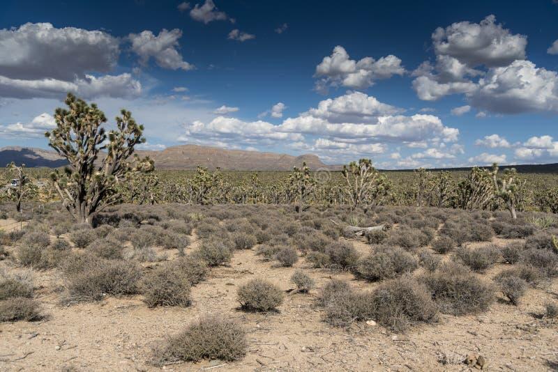 Joshua Tree Forest dell'Arizona fotografia stock libera da diritti