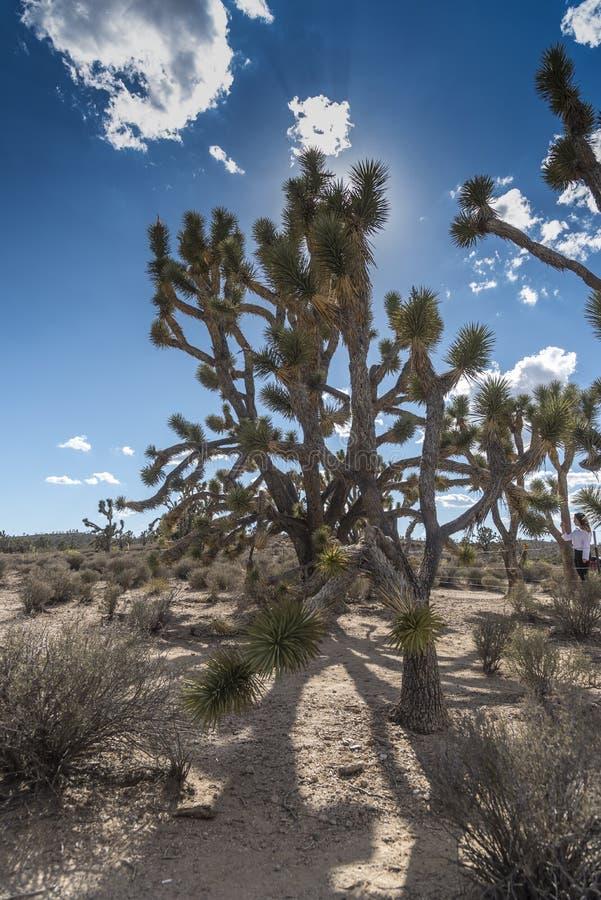 Joshua Tree Forest dell'Arizona fotografia stock