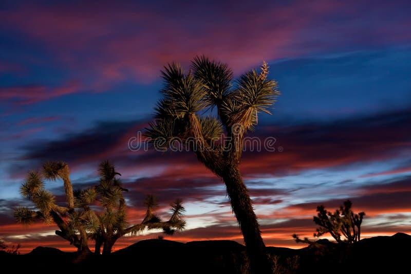 Joshua Tree Forest på solnedgången arkivbild