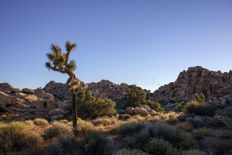 Joshua Tree i Mojave?knen fotografering för bildbyråer
