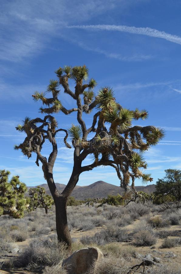 Joshua Tree a Joshua Tree National Park, CA fotografia stock libera da diritti
