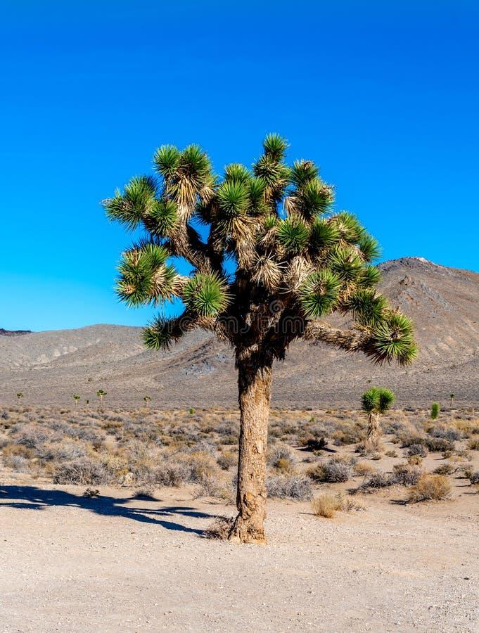 Joshua Tree med gröna sidor i öknen arkivbilder