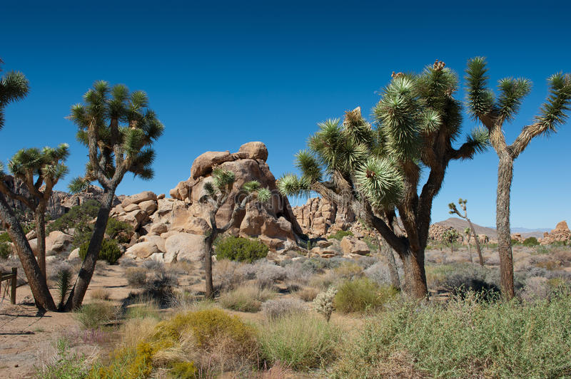 Joshua Tree. MS - The iconic yucca tree of the Joshua Tree National Park. Set in the desert of Southern California stock photography
