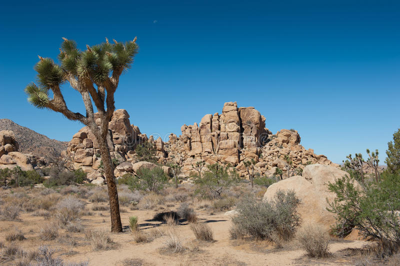 Joshua Tree. MS - The iconic yucca tree of the Joshua Tree National Park. Set in the desert of Southern California royalty free stock photography