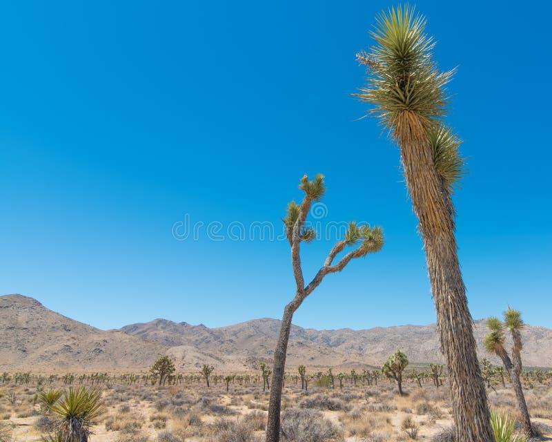Joshua Tree National Forest - Landschap van park dat woestijn, struiken, yucca, en joshuabomen bevat royalty-vrije stock foto