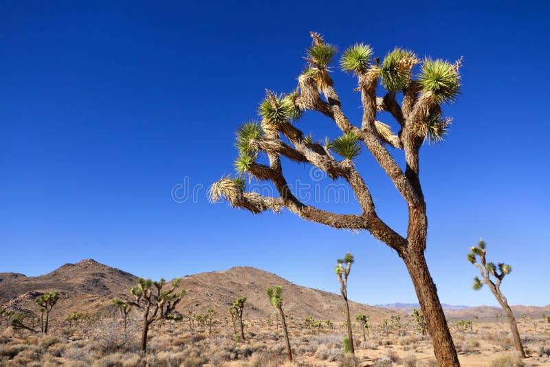 Joshua Tree National Park arkivbild