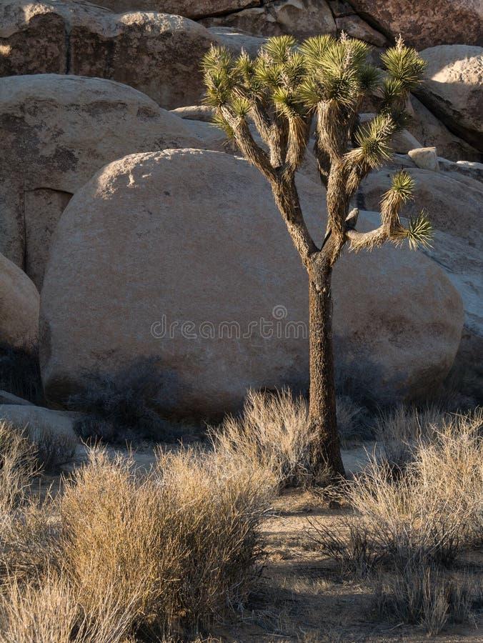 Joshua Tree National Park fotografering för bildbyråer