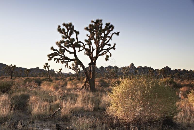 Joshua Tree National Park au coucher du soleil, Etats-Unis photos stock