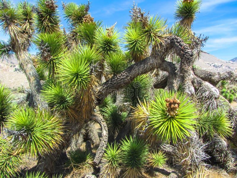 Joshua Tree National Park, desierto de Mojave, California fotos de archivo libres de regalías