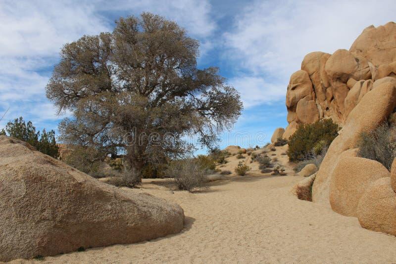 Joshua Tree National Park Dry-Kreek met Live Oak royalty-vrije stock afbeelding