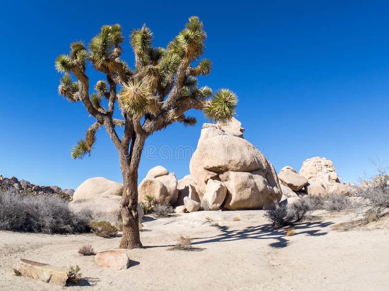 Joshua Tree National Park. Is immense, nearly 800,000 acres, and infinitely variable. It can seem unwelcoming, even brutal during the heat of summer when, in royalty free stock images