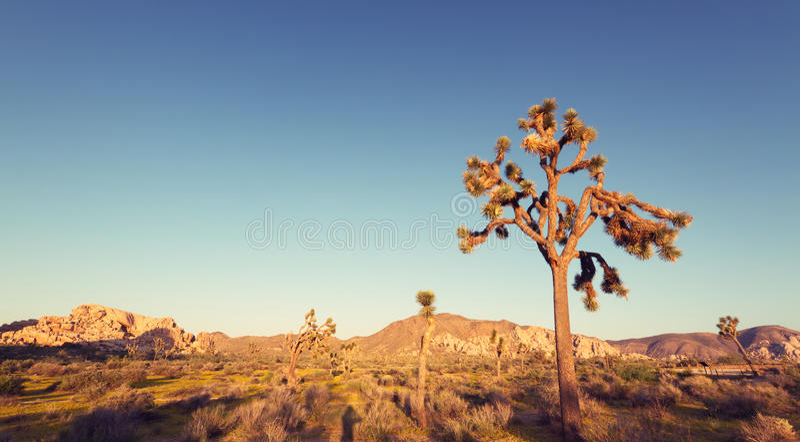 Joshua Tree National Park på solnedgången arkivfoto