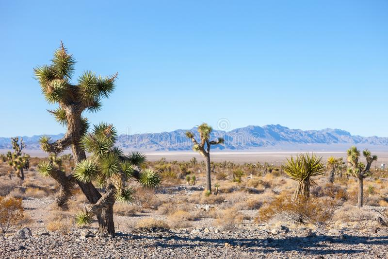 Joshua Tree nel deserto del Mojave, California, Stati Uniti fotografie stock