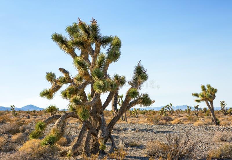 Joshua Tree och skog i den nationella sylten för Mojave, sydöstliga Kalifornien, Förenta staterna royaltyfri foto