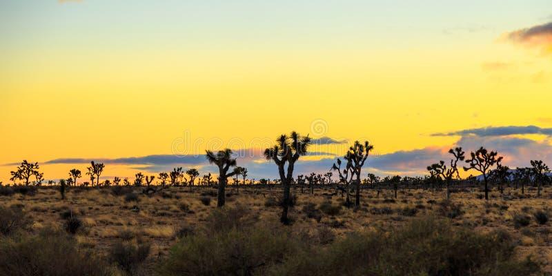 Joshua Tree på solnedgången royaltyfri foto