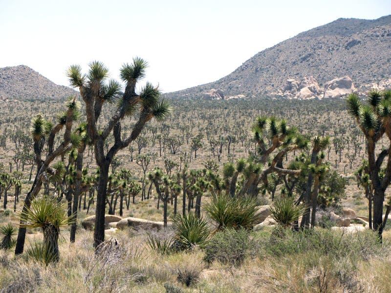 Joshua Tree Park photographie stock libre de droits