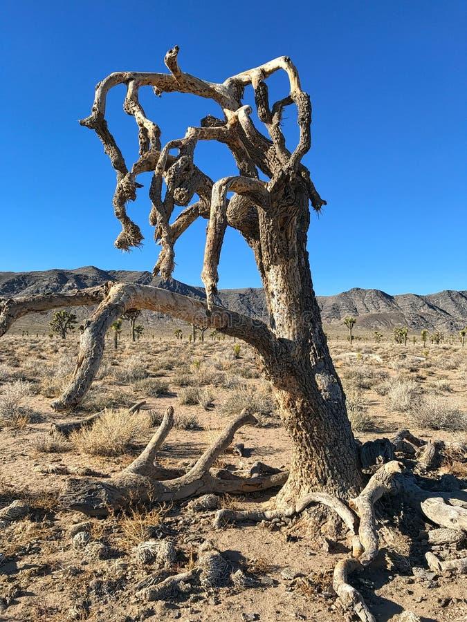 Joshua Tree Plant, parque nacional de Death Valley foto de archivo