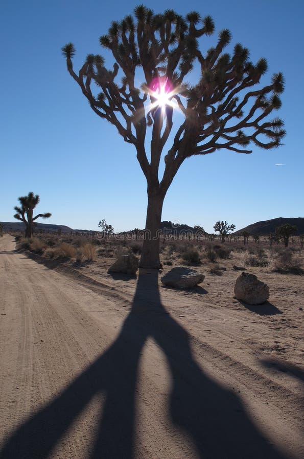 Joshua Tree Shadow på Joshua Tree National Park, Kalifornien royaltyfria foton