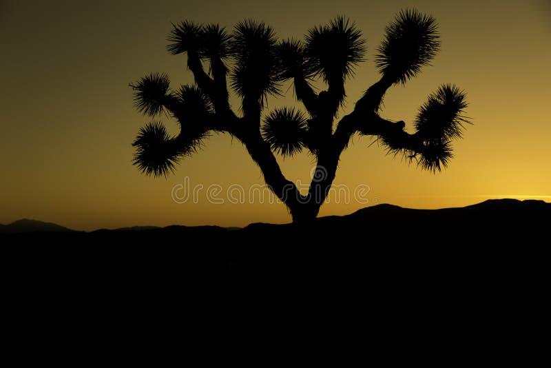 Joshua Tree. Single Joshua tree at sunset royalty free stock images