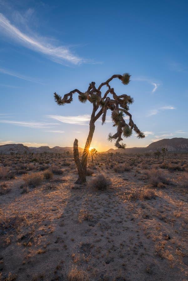 Joshua Tree Sunrise fotografia de stock