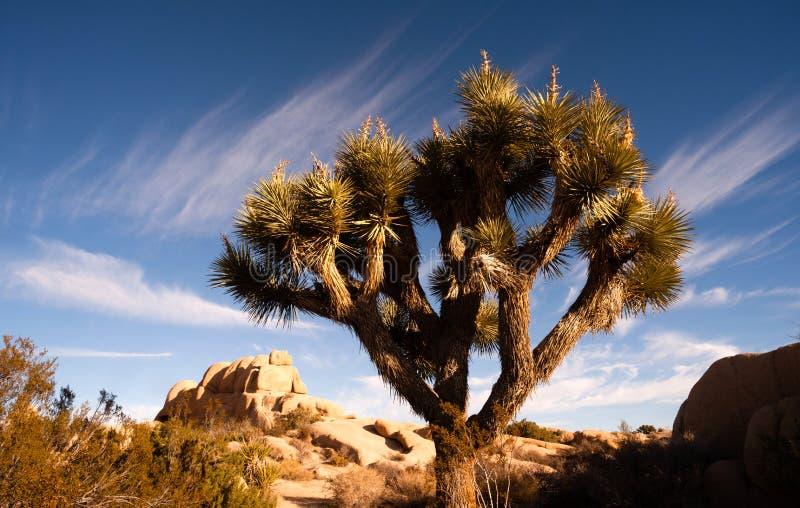 Joshua Tree Sunrise Cloud Landscape Kalifornien nationalpark arkivbilder