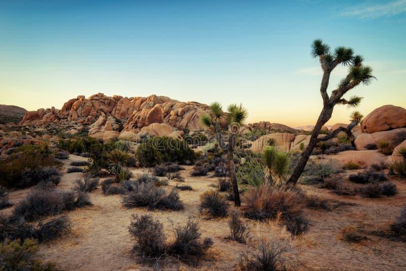Joshua Tree Sunset fotos de archivo libres de regalías