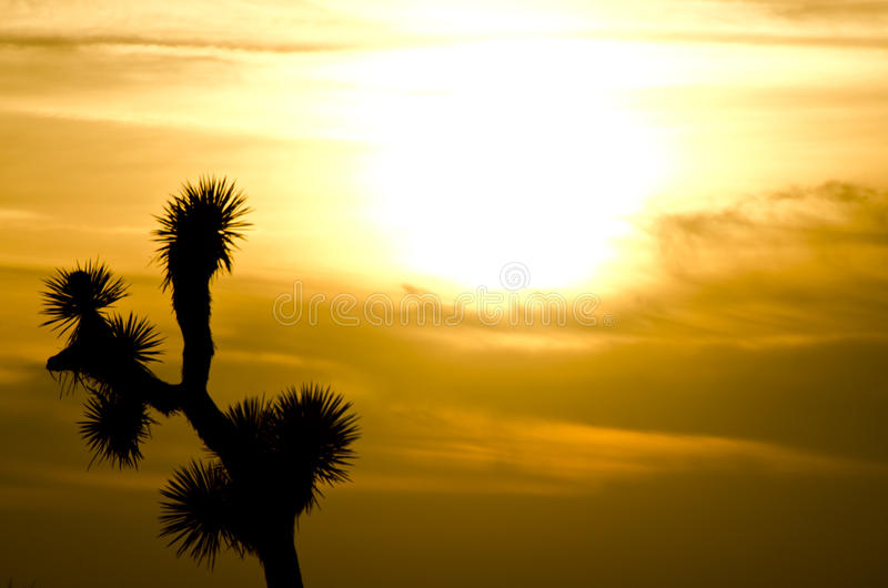 Joshua Tree Sunset. The iconic plant of California's high desert, the Joshua Tree is a member of the yucca family royalty free stock photography