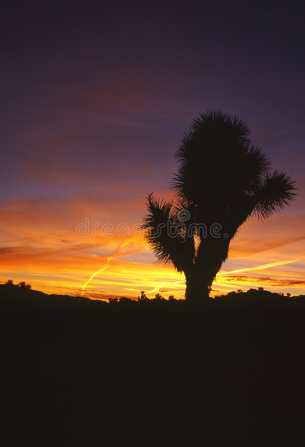 joshua tree wschodu słońca fotografia royalty free