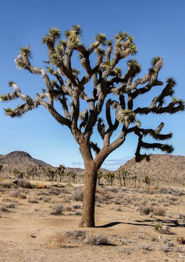 Joshua Tree - Yucca brevifolia lizenzfreies stockfoto