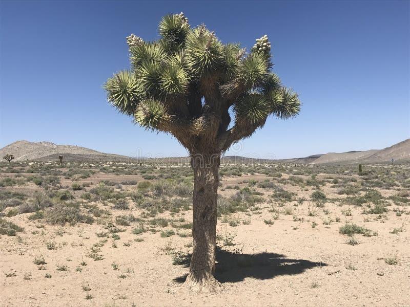 Joshua tree. Yucca brevifolia common names: Joshua tree, yucca palm, tree yucca, and palm tree yucca. Foto state Nevada, Mojave Desert stock images
