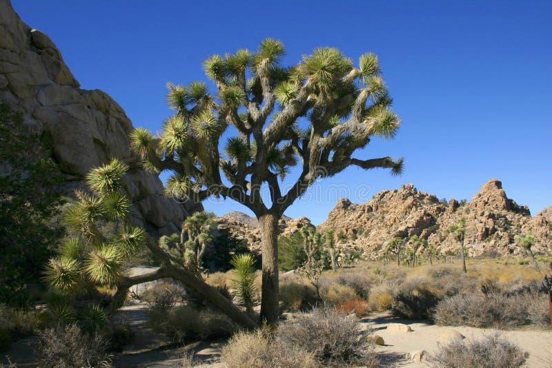 Joshua Tree Yucca brevifolia i nationalparken Joshua Tree royaltyfri fotografi