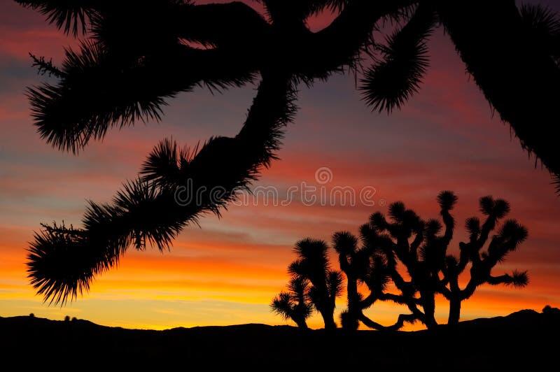 joshua trees fotografering för bildbyråer